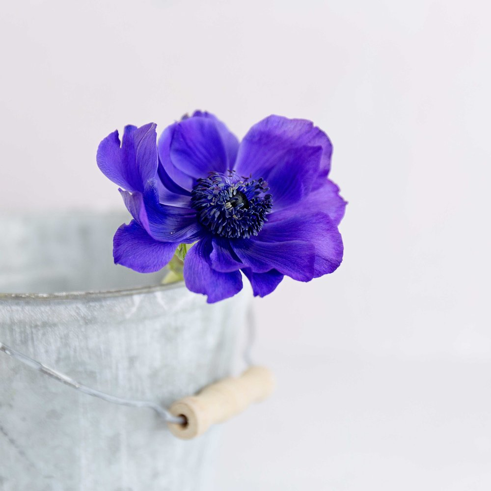Anemone in a tin bucket