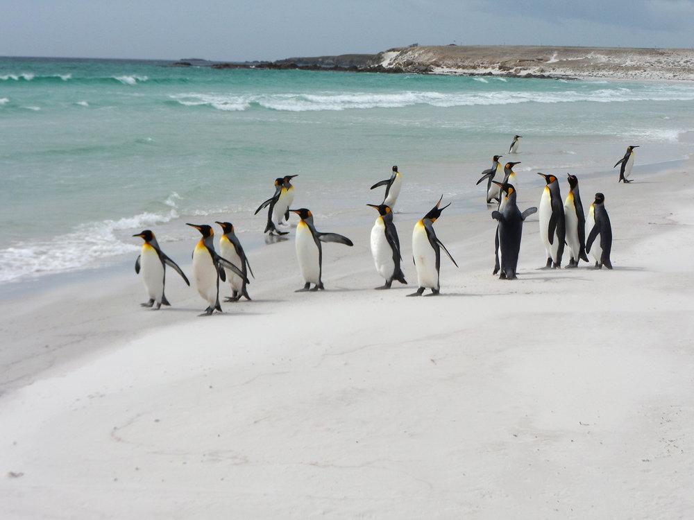 Penquin_Falklands_Chris-0143.jpg