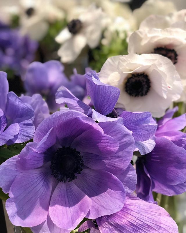 Good morning you gorgeous babes! I love my locally grown blooms but sometimes there's something to be said about imported goods....especially these outstanding anemones from Japan. . . . . #ccflorals #importedflowers #japanflowers #flowershopscenes #florist ⠀⠀⠀⠀⠀⠀⠀⠀⠀ #flowerlife #myflowerdiary #flowerstagram  #botanicalbeauty #floristlife  #floraldesigner #moodforfloral #floralfix #floralinspiration #abmlifeiscolorful  #baltimoreflorist #dcflorist #mdflorist #rsblooms#ihavethisthingwithflowers #dsflorals #fineartflowers #blooooms #botanicalpickmeup #flowermagic  #inspiredbypetals #flowerstalking #alltheprettyflorals #floralstories #flowersoftheday