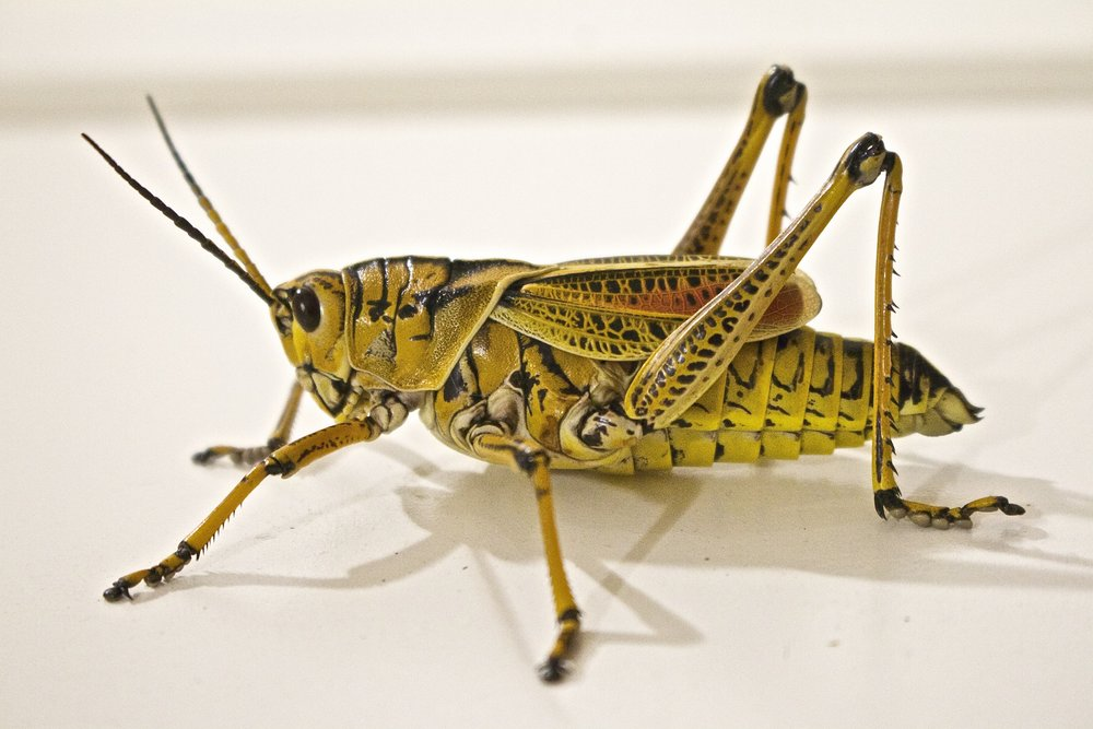 locust-jumping-grasshopper-animal-37830.jpeg