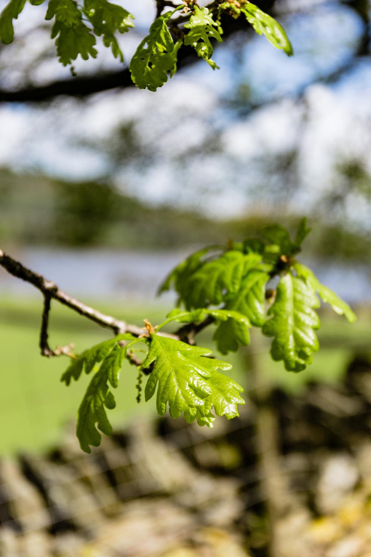 Walking past oak trees...