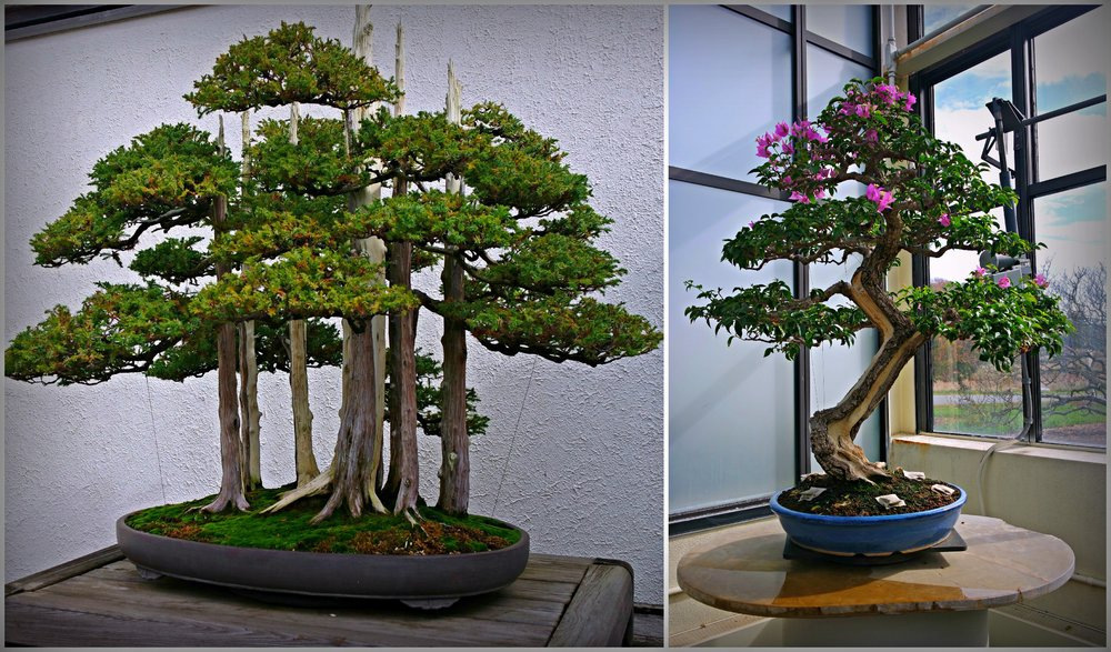 Bonsai Festival at U.S. National Arboretum