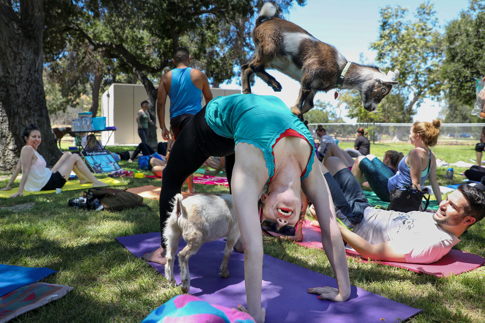 "Goat Yoga at Congressional Cemetery -  The nation's oldest cemetery already boasts a popular eco-goat program, and weekly ""Yoga Mortis"" class taught by Kelly Carnes. When they try to combine the two to bring the internet sensation ""Goat Yoga"" to the nation's capitol, the District's bureaucratic fed heads step in to stomp it out despite public support. Program yogi Kelly Carnes quoted for the front page Wall Street Journal story."