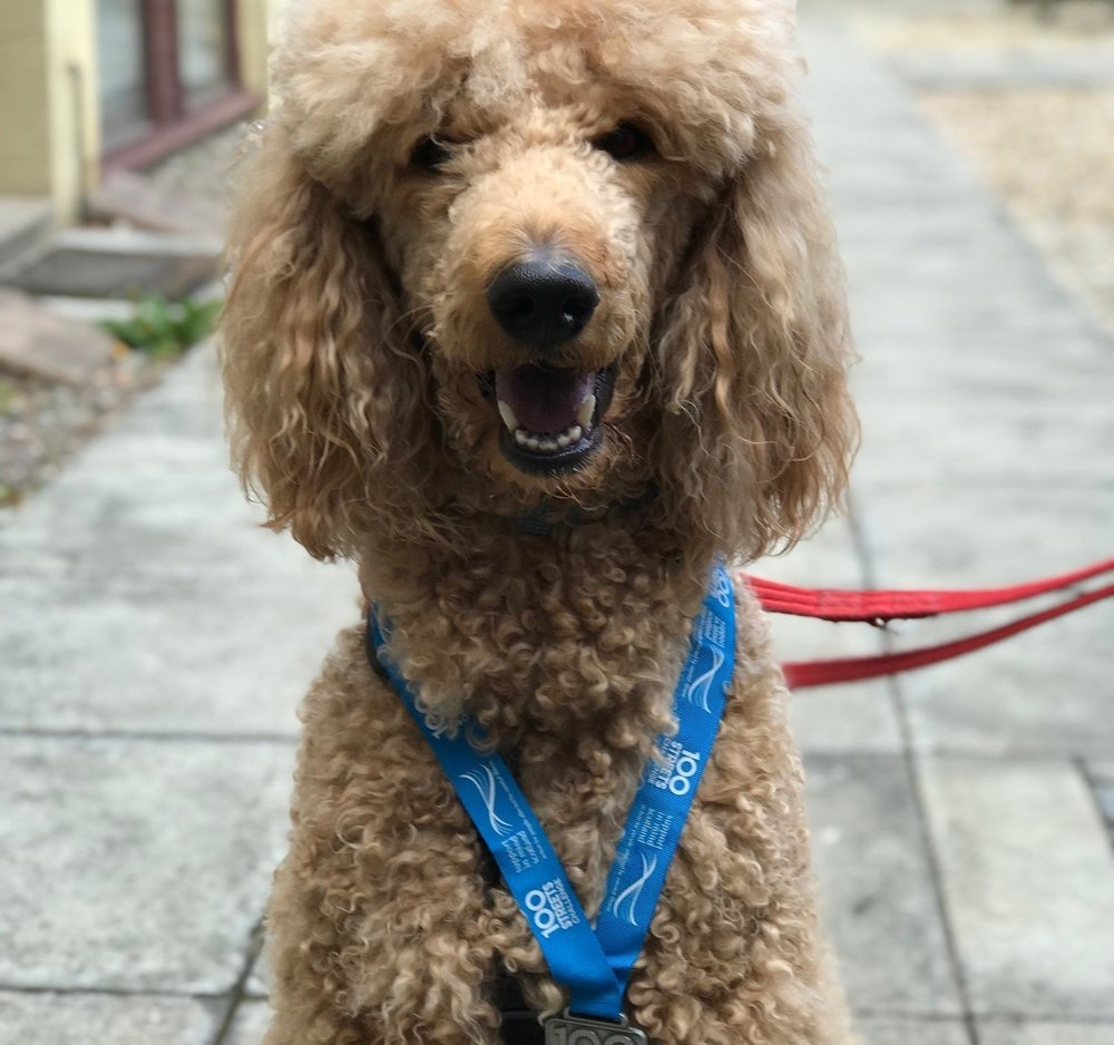 The 100 Streets Challenge is not just for humans as Ringo proved, looking the part here wearing one of our swanky new 100 Streets Challenge medals