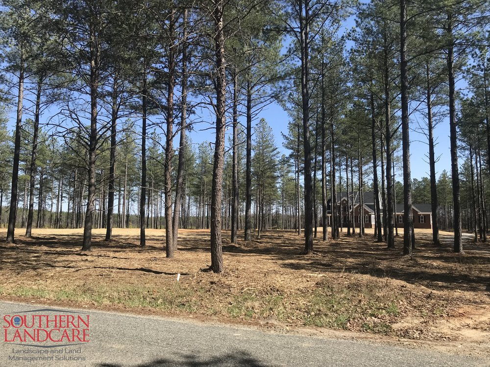Residential Underbrushing in Remington, VA. Clearing saplings and brush from between mature pines for a park-like setting.
