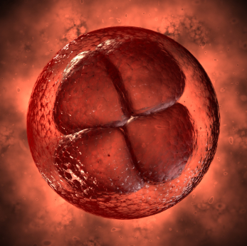 A representation of a fertilized egg dividing