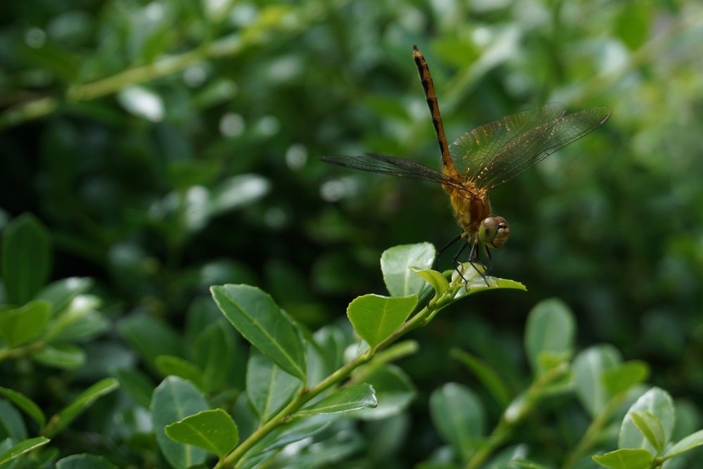 A dragonfly I photographed in early July