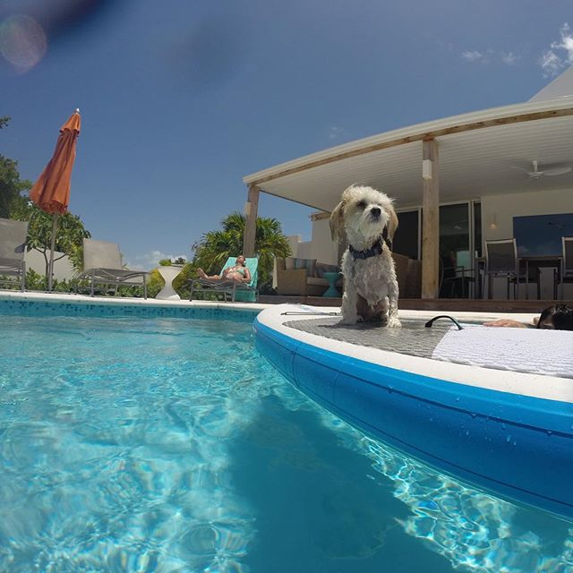 Surf doggie! 🐾🐶🏄‍♂️ Come play in our saltwater pool @turnstonehousetci #surfdog #poolside #familyfuntime #havaneselove • • • • • • #winteriscoming #getaway #dreamvacation  #turksandcaicosislands #sunandsea #beachescape #beachvacation #tropicalparadise #traveltheworld #travelblogger #turksandcaicos #bucketlist #caribbeanwaters #beautifulblue #villarental #familyvacation #familyfriendly #luxurytravel  #islandlife #pooldays #kiteboarding #kitesurfing #scubadiving #snorkeling #standuppaddle #surfinglife