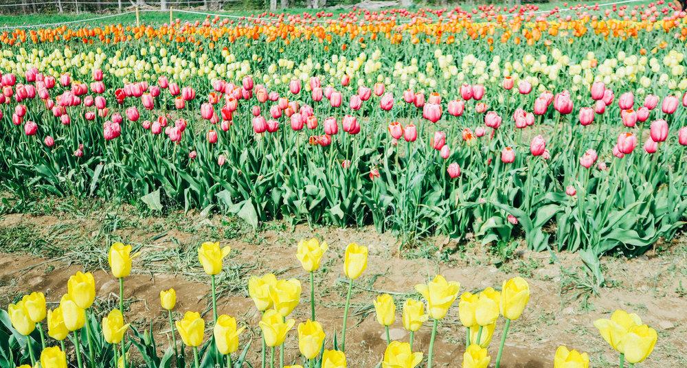 Tulip Gardens | affecionada