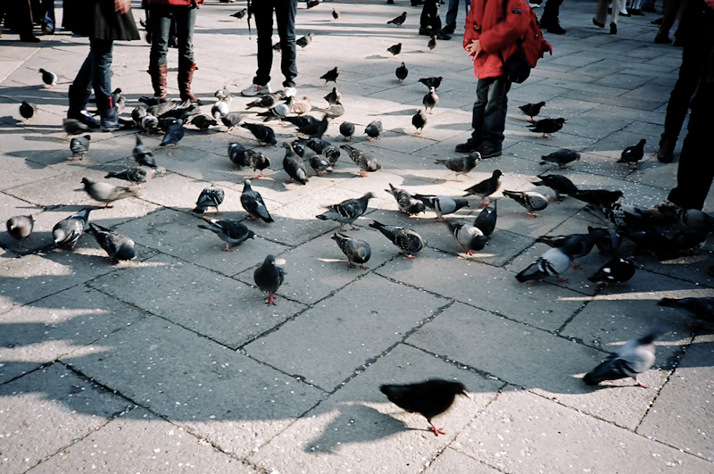 Photograph of pigeons in San Marcos Square, Venice, Italy