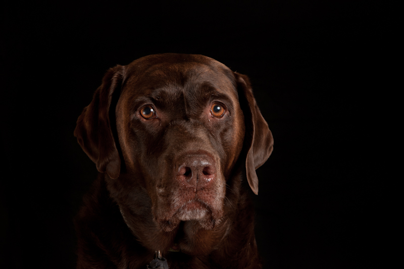 Photo of Sassy a chocolate labrador retriever