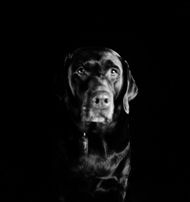 Holga photo of a dog (Chocolate Labrador Retriever)