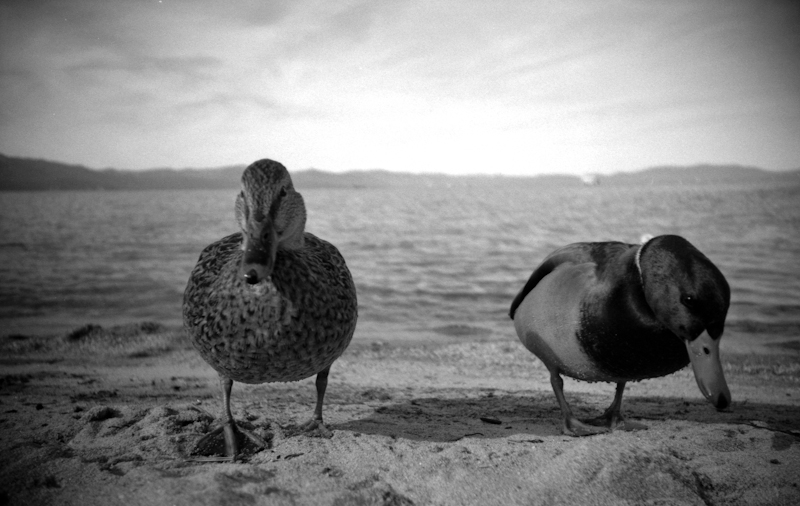 Photo of ducks taken at Lake Tahoe