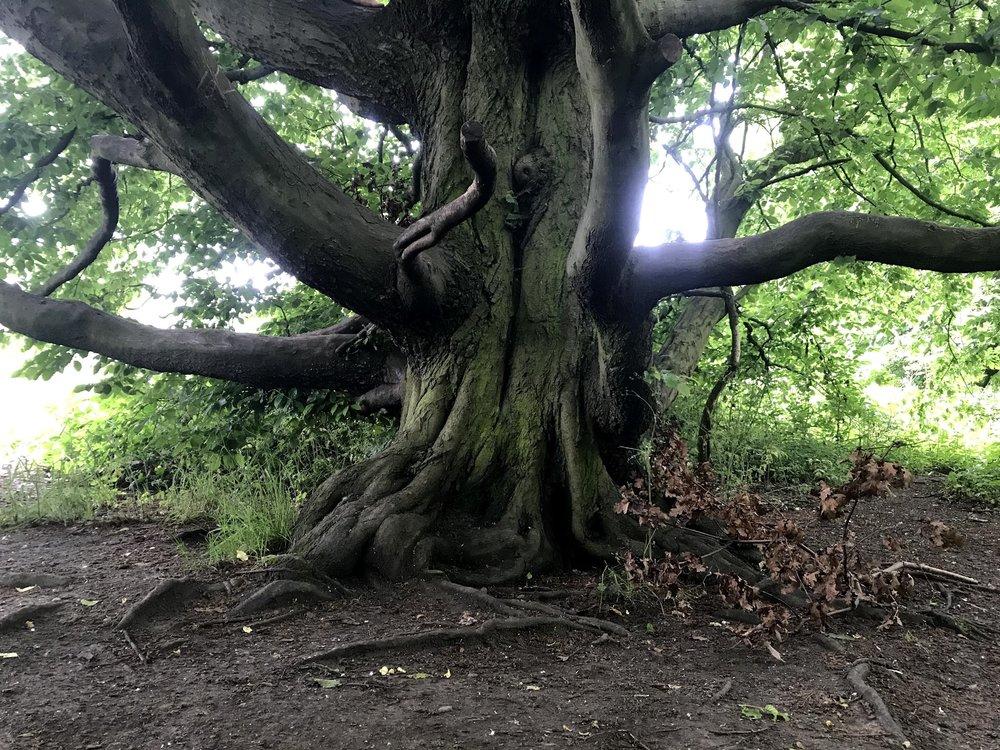 hampstead heath tree.jpg
