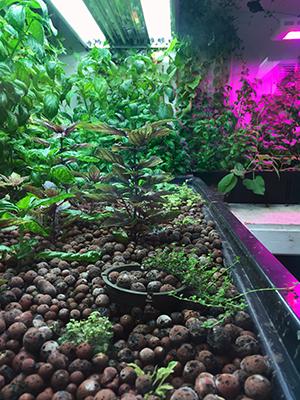 anton plant