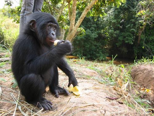 Bonobos   photo credit: Radio Okapi, 2004. ( Flickr )