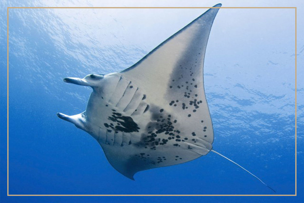 MANTA RAYS - Allow yourself to be enchanted by swimming with Manta Rays. These benign creatures are the true gems of ocean. These manta rays normally appear in group and swimming with a school of manta rays is the most relaxing and transforming activity there is.