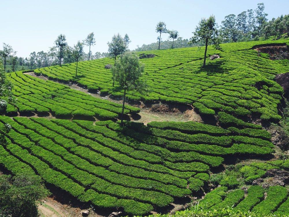 Munnar tea plantations, Kerala. 2017.