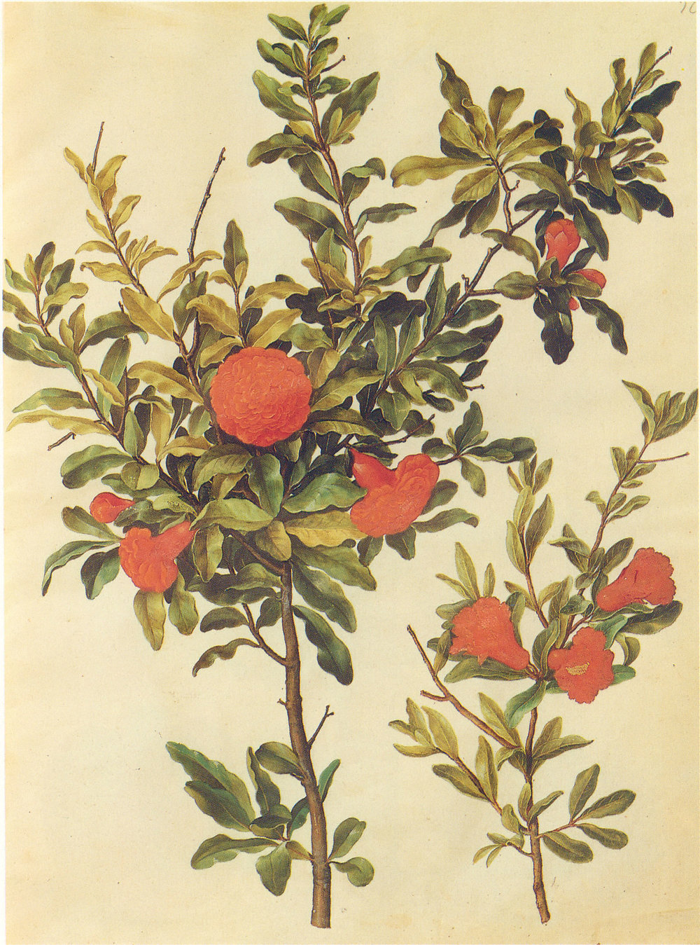 An example of a classic botanical illustration (not mine)