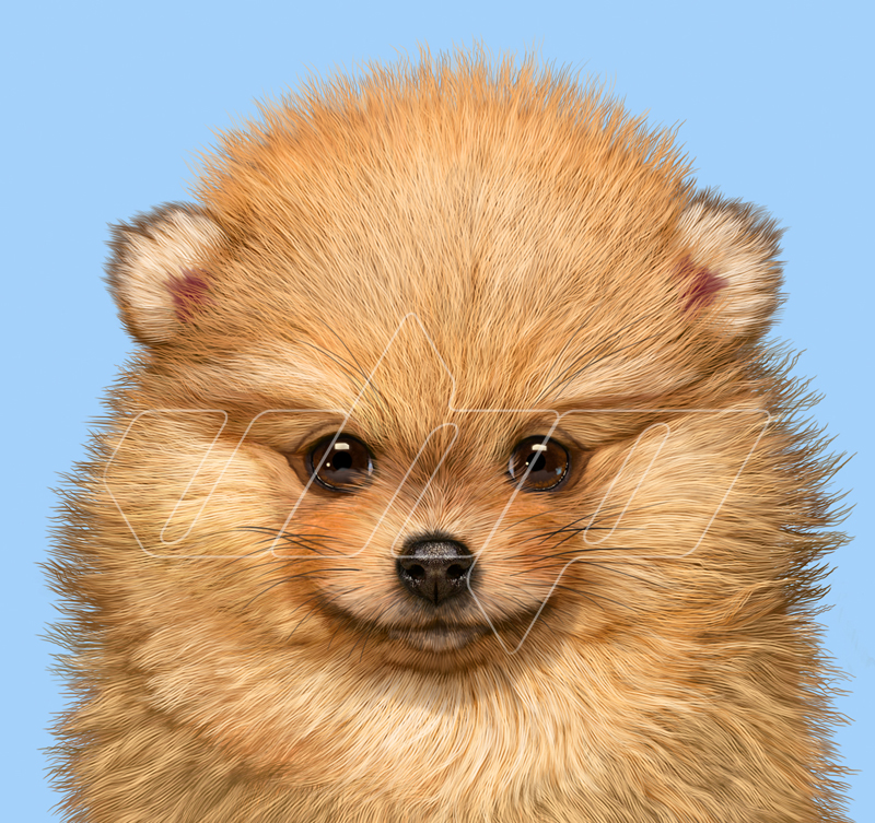 A-028 Pomeranian Puppy Portrait.jpg