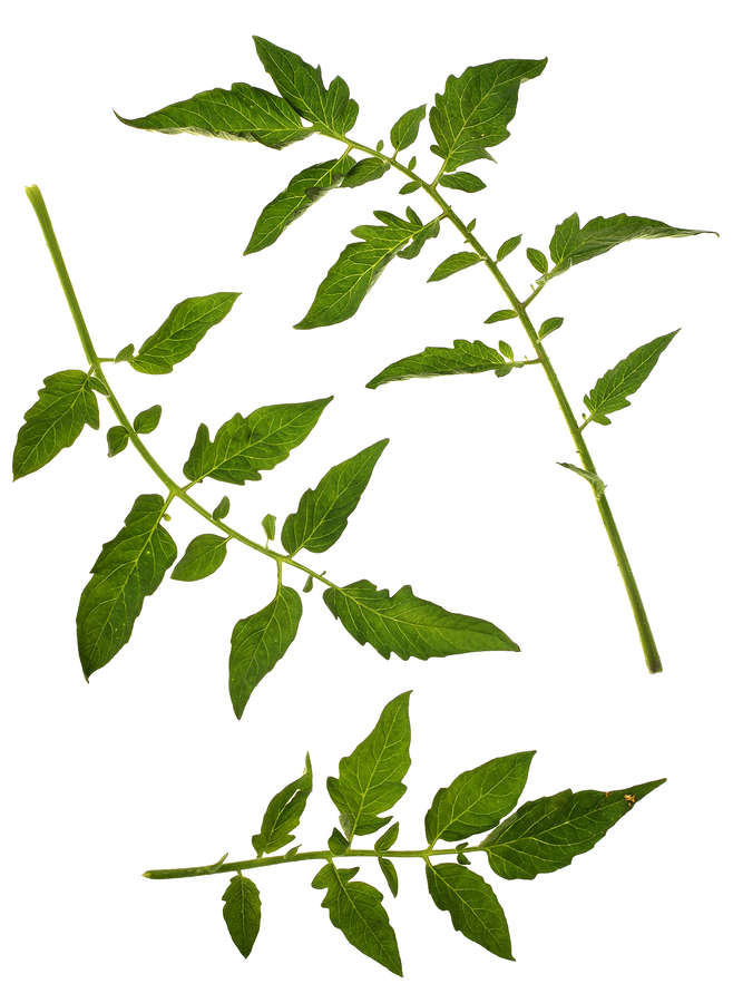 bigstock-Tomato-Leaf-4538459.jpg