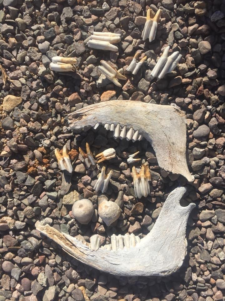 Cow Teeth_Taller de Terreno_Baja Sur California.jpg