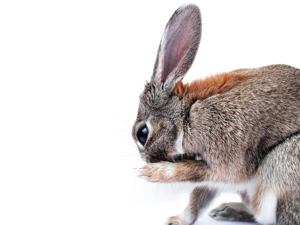 rabbit-740660_960_720.jpg