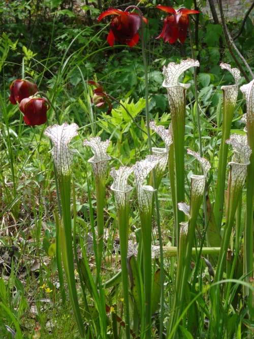 White Topped Pitcher Plants - Sarracenia leucophylla, at Kaul Wildflower Garden