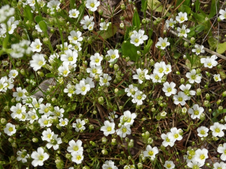 Appalachian sandwort - Minuartia glabra, at Little River Canyon