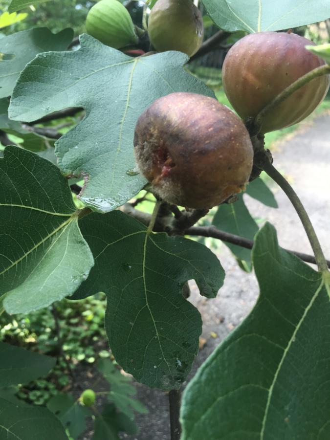 Fuzzy Figs