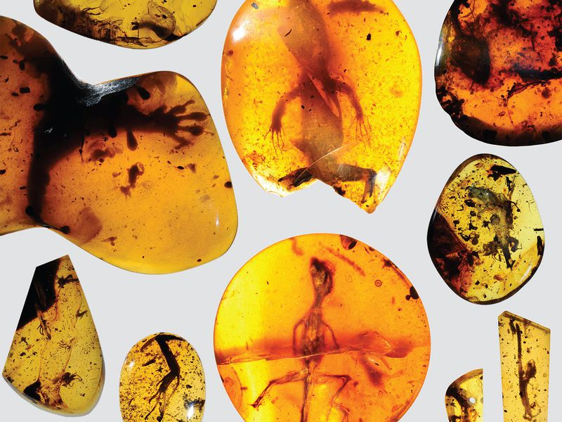 These ancient amber fossils from Burma in Southeast Asia help complete the patchy record of lizard evolution. (David Grimaldi)