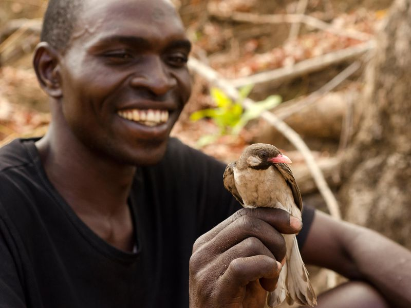 Yao honey-hunter Orlando Yassene holds a wild greater honeyguide male in the Niassa National Reserve, Mozambique. (Claire N. Spottiswoode)