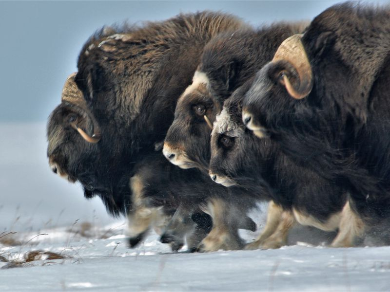 Musk ox have laid claim to this tundra for thousands of years, but today they face new threats. Joel Berger is determined to find out just what they are. (Courtesy of Joel Berger)