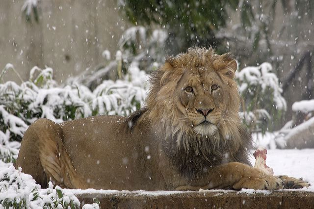 An African lion enjoying an afternoon snack in the falling snow of 2012 at the National Zoo. ( Smithsonian's National Zoo /Flickr CC)
