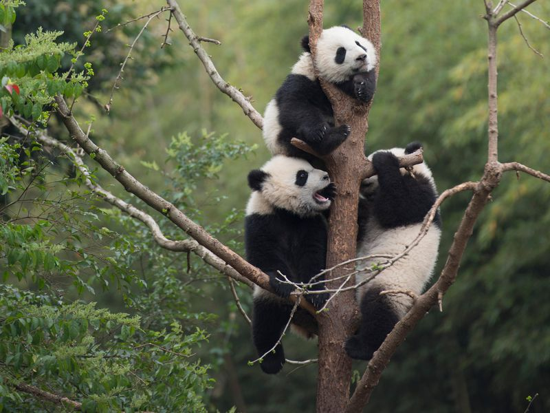 Giant Panda cubs developing their tree-climbing skills at China's Chengdu Panda Base (Drew Fellman)