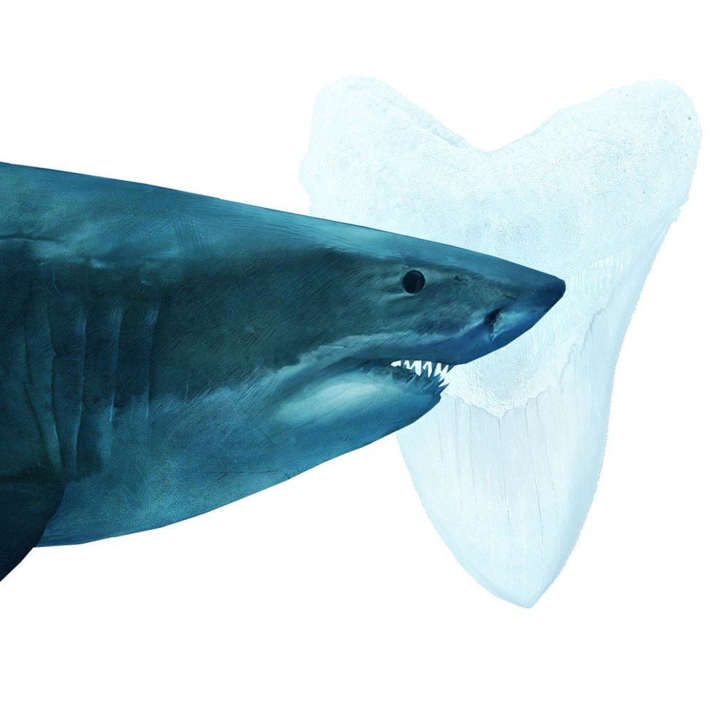 Megalodon were the rulers of the ancient oceans. The massive creatures grew up to 60 feet long and sported jaws more than six feet wide. FERNANDO G. BAPTISTA, DAISY CHUNG, RYAN T. WILLIAMS, CHIQUI ESTEBAN, AND JAIME HRITSIK, NG STAFF; FANNA GEBREYESUS