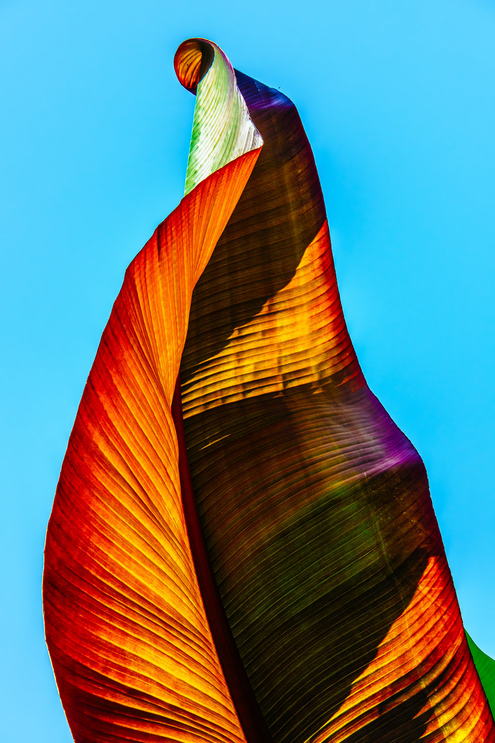 A underside of a leaf from a tropical plant taken against a clear British summer sky.  - Cambridge Botanical Gardens.