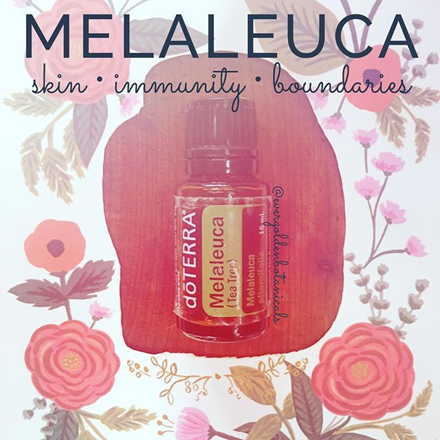 "Next up is the very well-known and useful Melaleuca. What the heck is Melaleuca? We commonly call this one Tea Tree. 🌿💚 This is a natural wellness woman's/man's medicine cabinet go-to for sure. Here are just a few of many possible uses for Melaleuca, the oil of energetic boundaries:  S K I N : Apply neat (undiluted) to skin irritations. Add lavender 💜 to protect skin.  N A I L S: Add 1-2 drops to nails per week to strengthen and protect. Helps clear nail fungus too!  H A I R : Add 1 drop to shampoo once a week to support healthy scalp and hair.  I M M U N I T Y : Apply to bottoms of feet and along the spine with On Guard and diluted oregano for healthy immune system support or take 2 drops each internally in a veggie capsule. 😷🌿💚 C L E A N : Add 1-2 drops to a small spray bottle of water and spray on to object/area to disinfect. 👌🏻👏🏼🍃 From and energetic/emotional approach, ""Melaleuca encourages an individual to relinquish all forms of self-betrayal, including allowing others to take advantage of one's time, energy, or talents; letting other feed on one's energy; not standing up for oneself; or feeling responsible for the problems of others. Melaleuca assists individuals in purification practices and in releasing toxic debris."" (Emotions + Essential Oils, 5th Edition)  How do you like to use Melaleuca (Tea Tree) essential oil?"