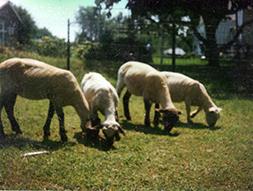 Lambs-web.jpg