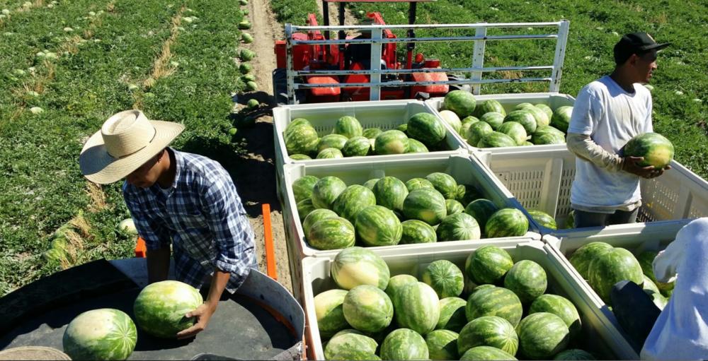 Melon Wrangler 15.png
