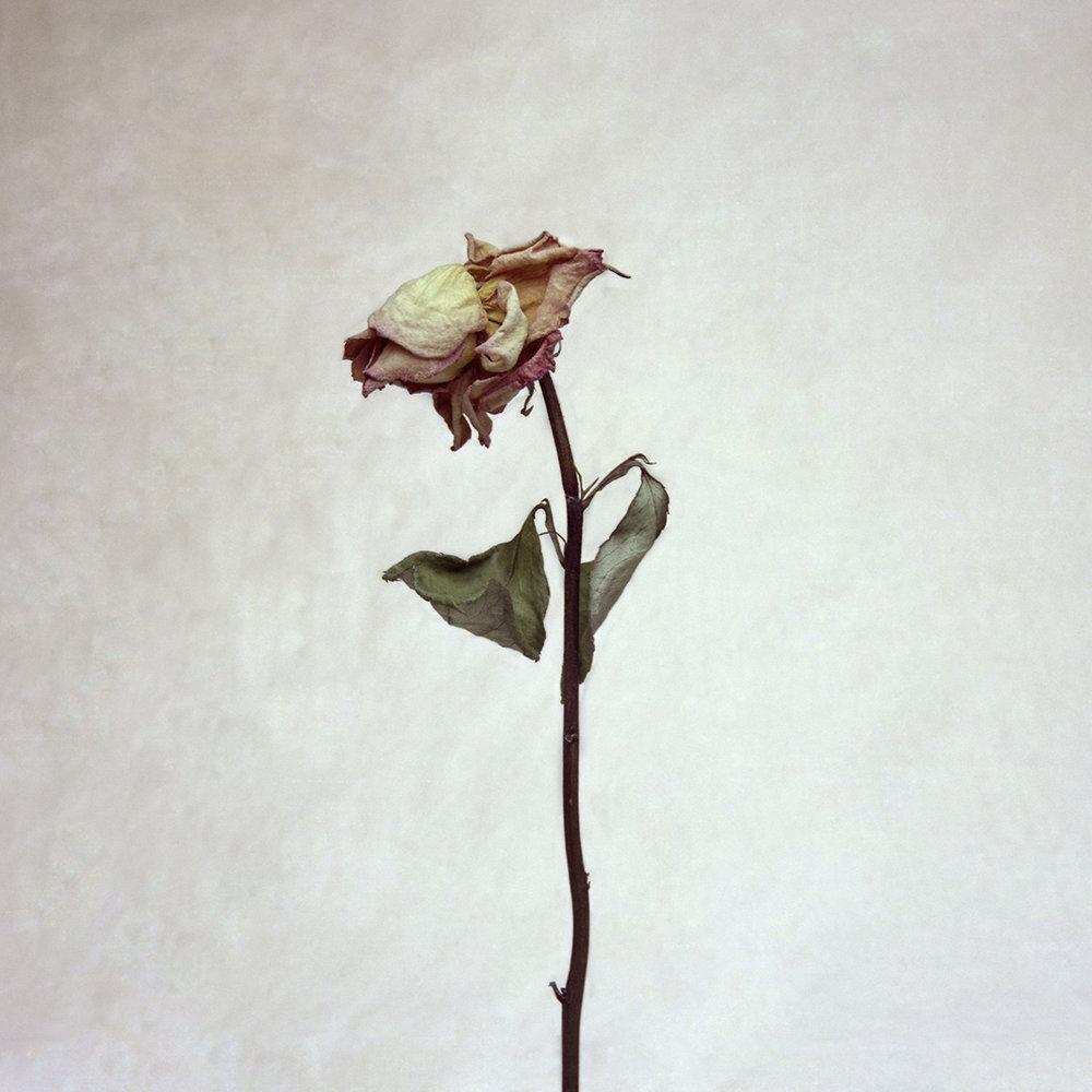 ROSE NO. 5