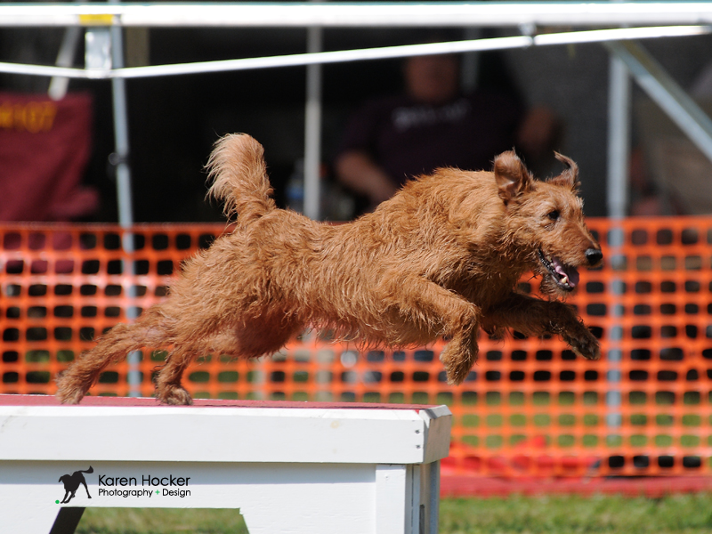 Daisy the Irish Setter- agility dog training with Kate Bigger in Boston MA.