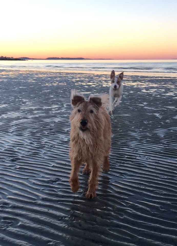 Daisy and Kate Bigger- agility competition highest titled Irish Terrier in USDAA, speed jumping, finals.