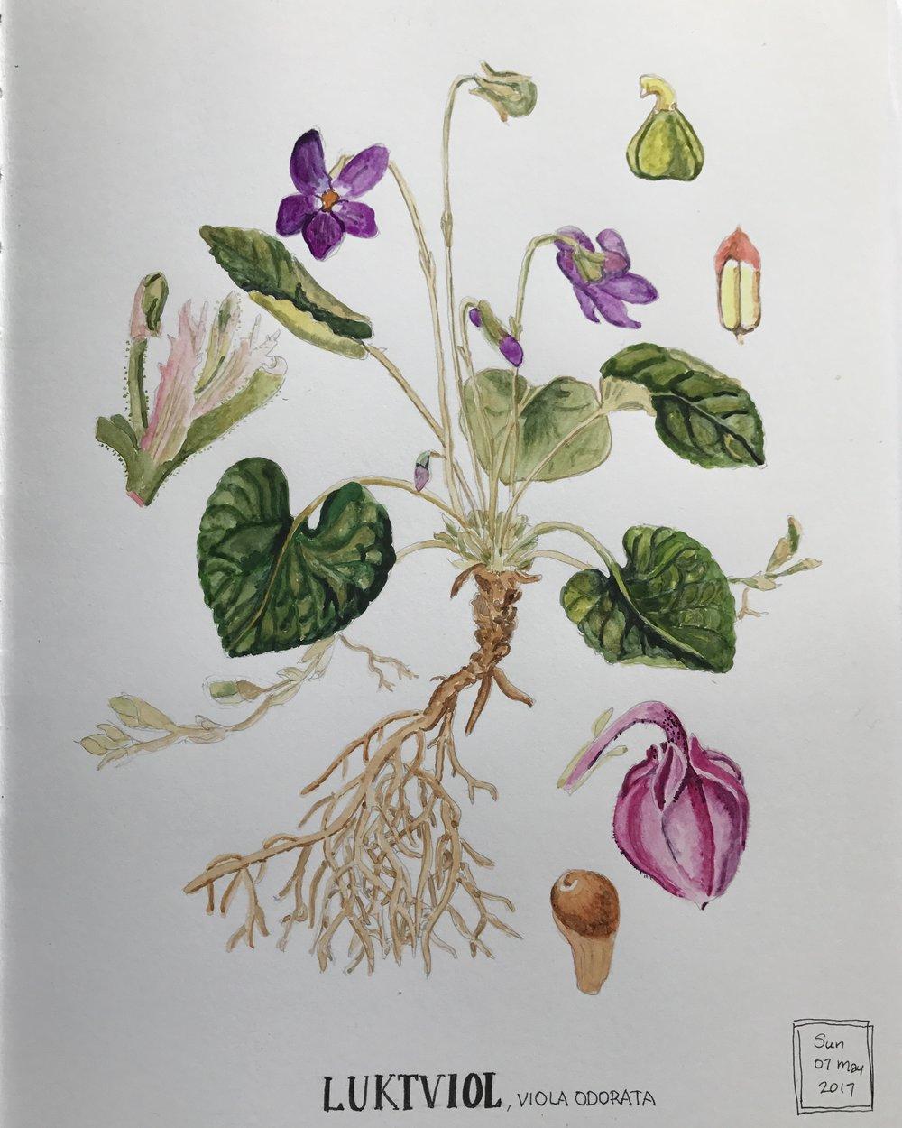 viola watercolor