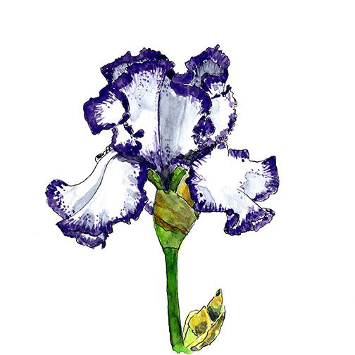 Purple and white iris 72 dpi wo text.jpg