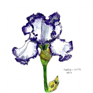 Purple and white iris 72 dpi.jpg