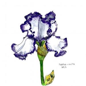 Purple and white iris 72 dpi.jpg