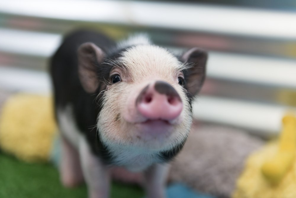 Best pig trainer in San Fernando Valley and Woodland Hills