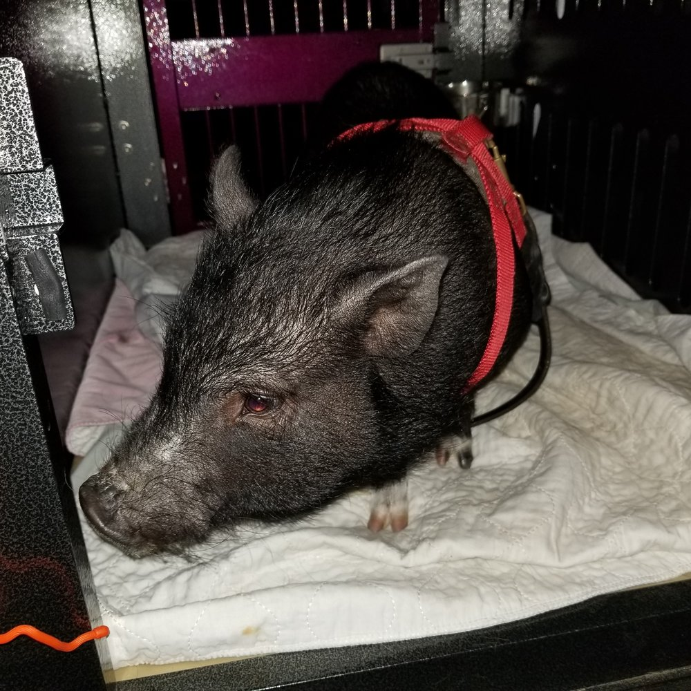 crate training a pig, pig in car