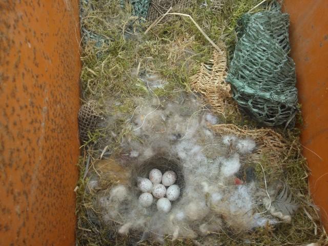 7 hienoa munaa perunan istutuskoneessa